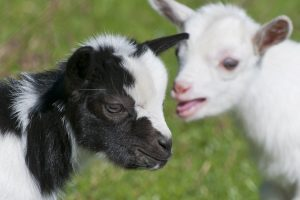 Goat owners workshop at Old Mill Country Store in Yakima, WA